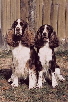 If you thought all Springer Spaniels were alike, be ready for a big surprise: the English Springer Spaniel has been two breeds for almost 70 years! While all Springers go back to similar British stock, breeders with hunting dogs and those with bench dogs have had different aims during those seven decades.