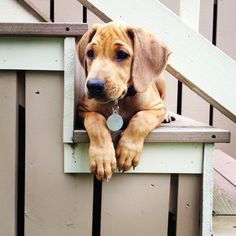 "Rhodesian Ridgeback @timelesscarving how can you say ""no"" to that face?"