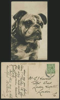 BULLDOG BULL DOG, Tom Reveley Wantage 1914 Old Real Photo Postcard Pets Animals