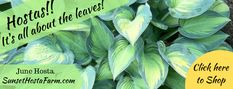 Blog.Sunset Hosta Farm.com: What Are Sun Tolerant Hostas? Hosta Care, Hosta Varieties, Potato Vines, Hosta Gardens, Beneficial Insects, Lavender Flowers, Summer Flowers, Leaf Coloring