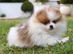 Pretty Little Pom!