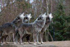 "her-wolf: "" Howling Timberwolves by Peter Weimann """