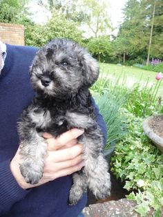 Archie, our Schnoodle puppy, has arrived!