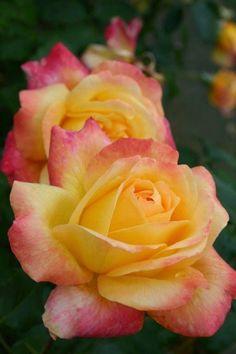 'Speelwark' ~ Hybrid Tea Rose.. by yolanda