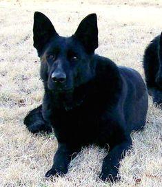 #German #Shepherd black dog                                                                                                                                                                                 More