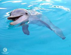 On December Winter (who is 10 years old) will be celebrating her rescue anniversary. This will be her golden anniversary! Happy Animals, Cute Animals, Dolphin Tale 2, Bottlenose Dolphin, Humpback Whale, Dolphin Photos, Clearwater Marine Aquarium, Dolphin Family, Baby Dolphins