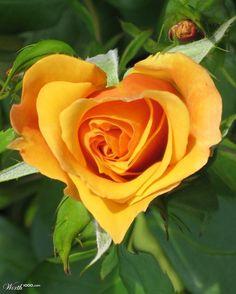 Heart rose  #Love #Heart #Nature    www.facebook.com/EssencetoSuccess