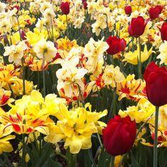Tulips at the Dallas Arboretum