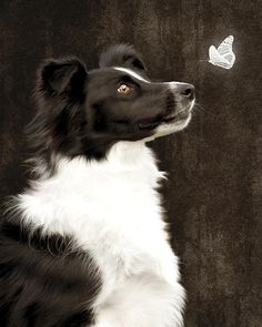"""Border Collie/Reminds me of my one grandpuppy """"Lilly Girl"""". She is an awesome dog!"""