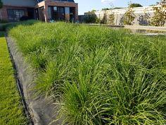 Monokultúra okrasných tráv Herbs, Plants, Herb, Plant, Planets, Medicinal Plants