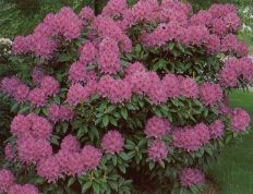 Rhododendron Flowers Pinterest