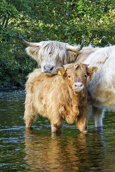 janetmillslove:  Highland Cattle - Kn moment love