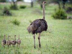Masai Ostrich with its Chicks in a Forest, Tarangire National Park, Tanzania