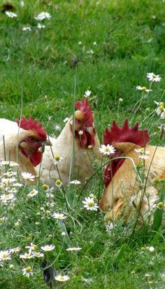 Clucks in daisies