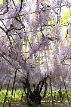Wisteria tree at Okazaki Park, Aichi, Japan Beautiful World, Beautiful Places, Tree Specialist, Wisteria Tree, Sakura Cherry Blossom, Garden Park, Foto Art, Pergola, Flowering Trees