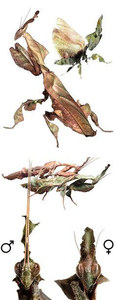 Phyllocrania paradoxa, female, male, copulating couple, heads.