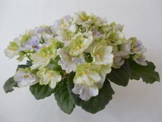 Mac's Simply Sublime | (G. McDonald) Semidouble white green frilled edge, variable blue, Medium green foliage.  African Violet.