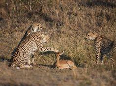 Um fotógrafo registrou uma série de imagens de um grupo de guepardos aparentemente brincando com um cervo  Foto: The Grosby Group