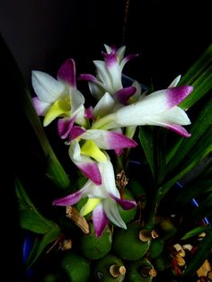 Coelia bella  - Species Orchid - Flickr - Photo Sharing!