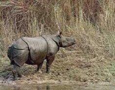 Javan Rhino. CRITICALLY ENDANGERED