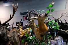 Ethereal roe deer, by a Polish taxidermy master, Krzysztof Wneczak. Photo taken during International Hunting Fair EXPOhunting 2015 in Sosnowiec