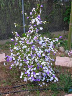 "Brunfelsia pauciflora - Brunfelsia, ""Yesterday-today-and-tomorrow"""