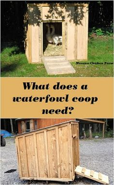 Building a goose coop or duck house. Waterfowl don't need the same things as chickens do, so building ducks or geese a coop is slightly different than building a chicken coop. Easy Chicken Coop, Backyard Chicken Coops, Chicken Coop Plans, Building A Chicken Coop, Chicken Runs, Chicken Feeders, Chicken Tractors, Backyard Ducks, Chickens Backyard