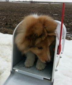 Mail order sheltie