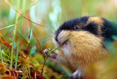 The Norway lemming (also Norwegian lemming), Lemmus lemmus, is a common species of lemming found in northern Scandinavia and adjacent areas of Russia. It is the only vertebrate species endemic to the region. The Norway lemming dwells in tundra and fells, and prefers to live near water. Adults feed primarily on sedges, grasses and moss. They are active at both day and night, alternating naps with periods of activity. | Der Berglemming (Lemmus lemmus) ist eine Art der Echten Lemminge…