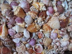 Top 10 Florida Beaches for Seashells: Sanibel Island, Caladesi Island State Park, Captiva Island, Cedar Key,  Panama City Beach, Venice Beach, Little Talbot Island State Park,  Honeymoon Island, Jupiter Island and  Fernandina Beach