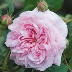 David Austin, Queen of Denmark. Medium pink, double blooming. Tough and disease resistant. Tall shrub, 5' X 4'