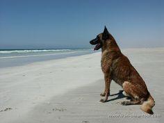 Our Belgian Malinois Lex..♡ Khor Suli beach Oman