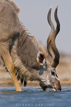 Frans Lanting - Greater kudu drinking at waterhole, Etosha National Park, Namibia