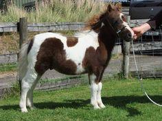 unnamed Halstock colt - Shetland Pony