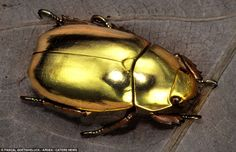Shiny: This gold-coloured Jewel Beetle is certainly eye-catching