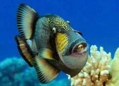 Animais com dentes horripilantes - Balistoides viridescens - Seus dentes roem coral . Atacam quem se aproxima deles pois são territorialistas .