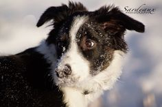 Sardeaux: Beautiful November #bordercollie