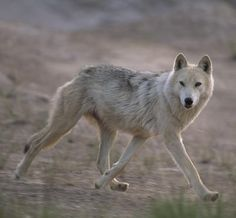 Wolves, like this tundra wolf, use several features to hunt prey. Wolves have excellent hearing and a keen sense of smell, which can help them detect deer from more than one mile (1.6 kilometers) away. Paul Nicklen/Getty Images