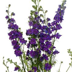Add dynamic contrast to arrangements with Larkspur Purple Flowers. Larkspur have long stems, which are covered in clusters of star-shaped blooms. The blooms hav Types Of Purple Flowers, Lavender Flowers, Cut Flowers, Purple Perrenial Flowers, Tall Flowers, Purple Colors, Larkspur Flower, Fifty Flowers, Birth Month Flowers