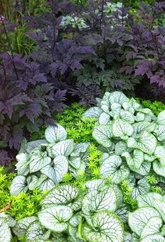 Cimicifuga, Brunnera, Sweet Woodruff (lieve vrouwe bedstro) planting for a shade garden