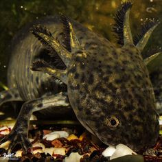 Axolotl: Ambystoma mexicanum