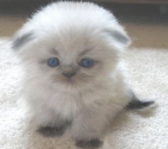 Young fury Scottish Fold kitten ---- I am a big dog person, but this little kitty is cute!!!!!