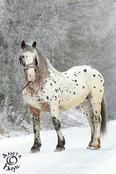 Sugarbush Draft #horse