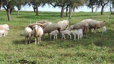 Owca to jedno z najstarszych zwierząt gospodarczych. Służy rolnikom od wielu lat zatem prócz plusów materialnych które daje pasanie owiec przesiąknęło ono do tradycji. Nienowe są odniesienia do owcy w biblii, ale  owca uwidacznia się także w kulturze wiejskiej  jako czarna owca.