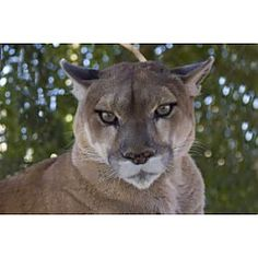Cougar camp at Oregon Zoo Portland, OR #Kids #Events