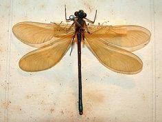 quigleys - dragon fly