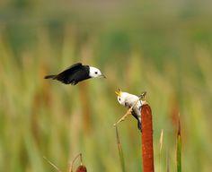 Foto freirinha (Arundinicola leucocephala) por Adilson Constantini   Wiki Aves - A Enciclopédia das Aves do Brasil