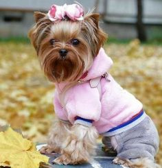 Cute Puppies, Cute Dogs, Yorkie Clothes, Shih Poo, Dog Haircuts, Cute Animals, Baby Animals, Yorkshire Terrier Puppies, Yorkie Puppy