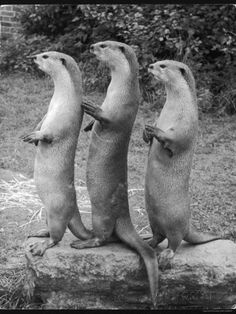 Trio of Otters Photographic Print at AllPosters.com
