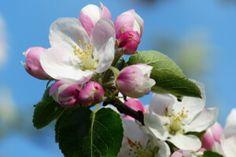Ezekkel az ehető virágokkal díszítsd ételeid és italaid [lista] Apple Tree, Apple Blossom, Organic Gardening, Apple Tree Flowers, Pink Flowers, Flower Images, Flowers, Blossom Trees, Blossom